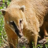 pic of coatimundi  - Portrait Of The Coatimundi On The Nature - JPG