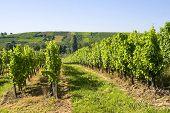 Viñedos de Alsacia