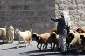 BETHLEHEM, SHEPHERDS FIELD - OCTOBER 05: The shepherd leads a flock of sheep grazing just as in bibl