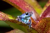 blue poison dart frog Oophaga pumilio of tropical rainforest in Panama cute small rain forest amphib