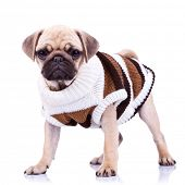 standing pug puppy dog looking to the camera on white background. full body picture of a curious sta