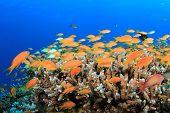 Tropical Fish on coral reef (Lyretail Anthias)