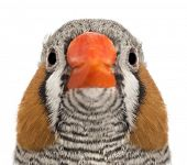 Portrait of Zebra Finch, Taeniopygia guttata, against white background