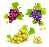 Bunches of grapes. Vector
