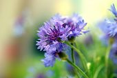stock photo of corn stalk  - Beautiful cornflowers - JPG