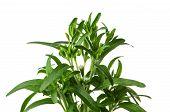 a stevia plant on a white backround
