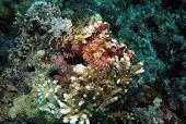 Raggy Scorpionfish