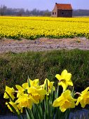 Daffodils On A Field