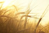 stock photo of harvest  - Wheat field on the background of the setting sun - JPG