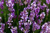 lavender flowers on a farm, provence , france