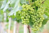 picture of sugar industry  - Green grapes in a vineyard for wine industry - JPG