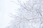 Winter branches of trees in snow