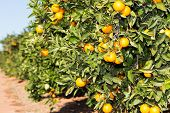 pic of valencia-orange  - Trees with orange typical in the province of Valencia Spain - JPG