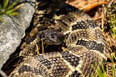 stock photo of timber rattlesnake  - A Timber Rattlesnake basking in the Appalachian Mountains - JPG