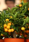 Decorative Tangerine Trees In Pots For Sale