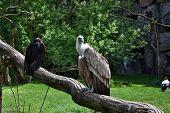 Vulture And Condor