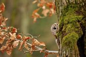 Tawny Owl Hiddne Behind Tree Trunk