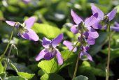 Garden Violet (viola Labradorica)