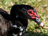 Watchful Muscovy Duck