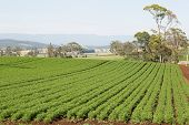 image of rich soil  - Field of Carrots in neat rows on rich farmland soil - JPG