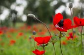 Amazing Red Anemones On A Field