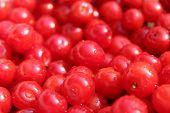 Friuts Of Red Berries Of Prunus Tomentosa
