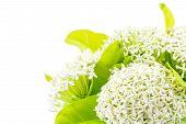 White Ixora Flower