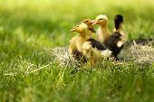 Little cute ducklings on hay, outdoors