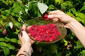 Girl pick Raspberries In A Glass Bowl