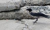 wild magpie