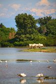 image of great horse  - Herd of wild Camargue horses Soca River Mouth  - JPG