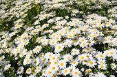 Beautiful White Daisy
