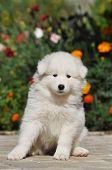 Beautiful White Puppy Portrait