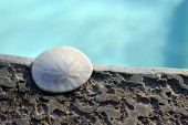 foto of sand dollar  - Sand Dollar animal sea shell in a circular shape - JPG
