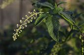 pic of pokeweed  - Phytolacca americana Pokeweed with green leaves in the garden - JPG