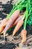 Harvest Carrots On Table