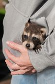 Baby Raccoon (Procyon lotor) Looks Out From Sweatshirt Pocket