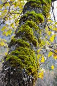 Moss On Oak Tree