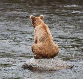 Sitting Brown Bear