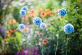 Blue flowers in a summer garden