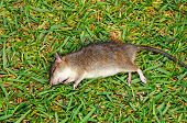 Deat rat on the grass.