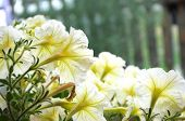 stock photo of petunia  - White Petunia outdoor at the summer garden decoration - JPG
