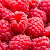 Freshly picked ripe red raspberries.