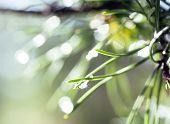 green pine after rain blured with bokeh