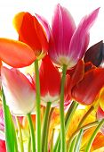Bunch of beautiful spring tulips against white background