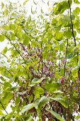Closeup Of Redbud Tree With Seeds.
