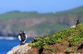Atlantic Puffin (fratercula Arctica) On Cliff Top
