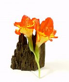 foto of gladiolus  - two lovely orange gladiolus to white reason - JPG