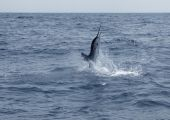 picture of sailfish  - Sailfish saltwater sport fishing jumping in the deep ocean - JPG
