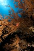 stock photo of hawkfish  - longnose hawkfish and black coral taken in the red sea - JPG